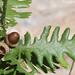 Quercus frainetto - Photo (c) Ori Fragman-Sapir, όλα τα δικαιώματα διατηρούνται