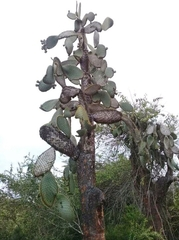 Opuntia galapageia image