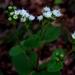 Ageratina prunellifolia - Photo (c) Lex García, all rights reserved