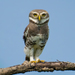 Forest Owlet - Photo (c) Saswat Mishra, all rights reserved