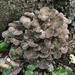 Grifola frondosa - Photo (c) Bethany Teigen, כל הזכויות שמורות