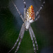 Cyrtophora - Photo (c) Dreamtime Nature Photography, todos los derechos reservados