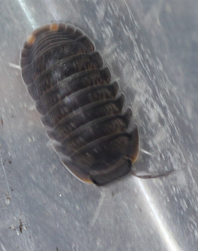 Little Sea Pill Bug Terrestrial Isopods Oniscidea Of North
