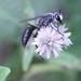 Sphex argentatus - Photo (c) Agnes Trekker, todos los derechos reservados