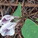 Clitoria mexicana - Photo (c) Lupita Espinosa, todos los derechos reservados