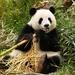 Giant Panda - Photo (c) Sherman Burbano Moreno, all rights reserved
