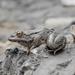 Karpathos Frog - Photo (c) Konstantinos Kalaentzis, all rights reserved