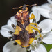 Jagged Ambush Bug - Photo (c) DinGo OcTavious, all rights reserved