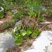 Peperomia bracteata - Photo (c) arturoc, all rights reserved