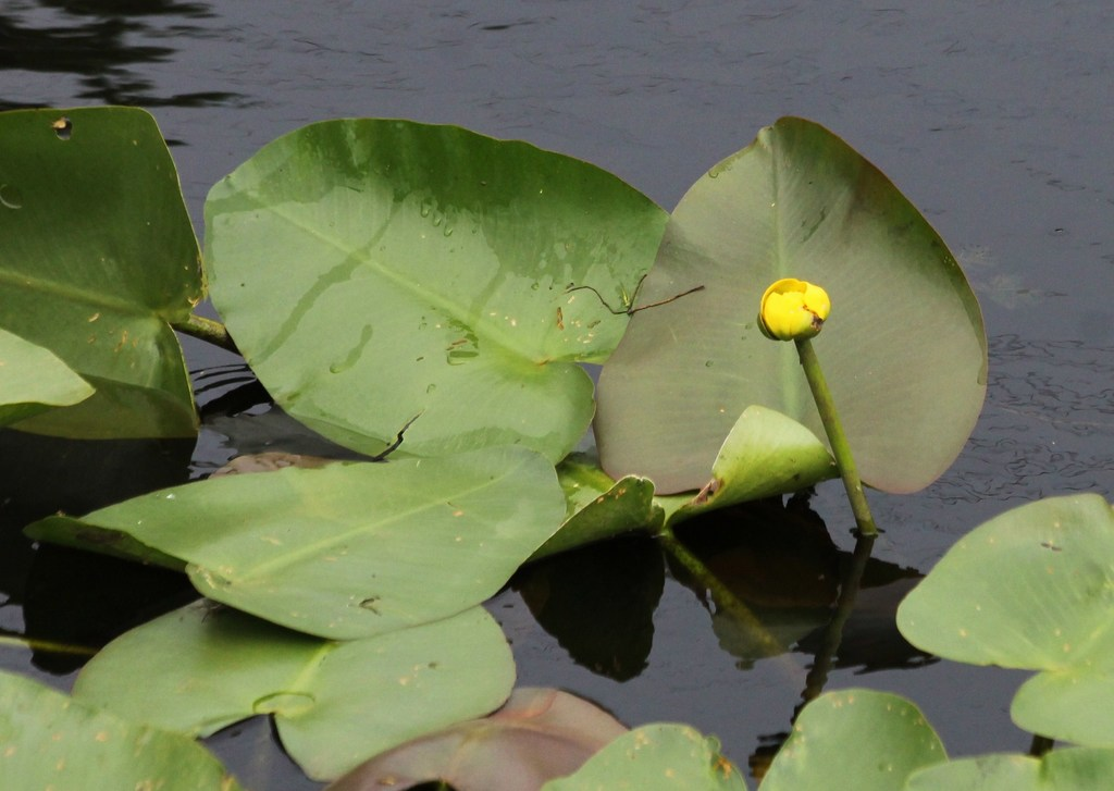 Nuphar advena - Photo (c) Jay Keller, todos los derechos reservados, uploaded by Jay L. Keller