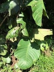 Coccoloba caracasana image