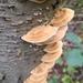Mensularia radiata - Photo (c) Jenny B, todos los derechos reservados