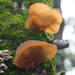 Jelly Tree Ear - Photo (c) Eric Hunt, all rights reserved