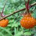 Rubus palmatus coptophyllus - Photo (c) raibums, all rights reserved, uploaded by Timur Kalininsky