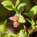 Common Bilberry - Photo (c) Tig, all rights reserved