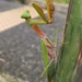 Golden-armed Mantis - Photo (c) Si Hui, all rights reserved