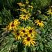 Rudbeckia subtomentosa - Photo (c) Eric Hunt, כל הזכויות שמורות