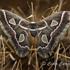 Lepidópteros de Chihuahua icon
