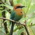 Aves de Panamá por Panama Rix icon