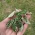 Sideroxylon lanuginosum (Gum bumelia) Galls icon