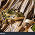 Northern Leopard Frog icon