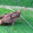 Pygmy grasshoppers in the Holoarctis icon