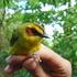 Parúlidos (Aves: Parulidae) de México icon
