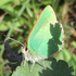Green Hairstreak Corridor Bioblitz 2017 icon