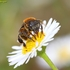 Bees of Eastern Africa icon