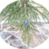 Sagehen Juniper Project icon