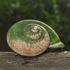 Terrestrial molluscs (land snails and slugs) of Malaysia icon
