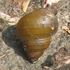 Freshwater molluscs (snails and mussels) of Malaysia icon