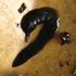 Monitoring the Invasive New Guinea Flatworm in Southeast Asia icon