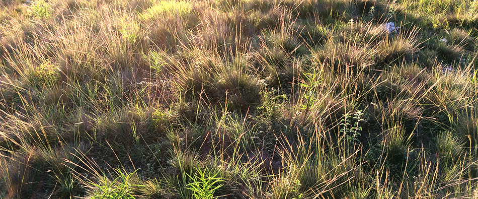 pastizales de la región chocholteca del norte de oaxaca naturalista