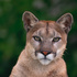 Mountain Lions of Marin icon