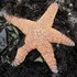 Tracking Starfish Wasting and Recovery icon