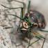 Ohio Tiger Beetles (Cicindelidae) icon