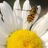 Cocagne, NB Pollinisateurs / Pollinators icon