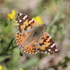 Lepidoptera of Lubbock County icon