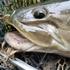 Indiana Fish Species icon
