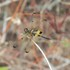 Odonata of Bali (Indonesia)(dragonflies and damselflies) icon