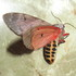 Botswana Moths s Afr icon