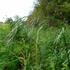 Grasses of Ontario (Poaceae) icon