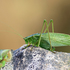 Grasshoppers, Crickets and Katydids of the Canadian Maritimes icon