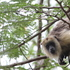 Howler Monkeys' habitat preferences in an urban environment icon