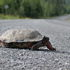 Maine Turtle Roadkill Survey icon
