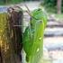 Bladder Grasshopper icon