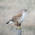 Ferruginous Hawks in Saskatchewan icon