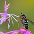 Flower Flies (Syrphidae) of the Canadian Maritimes icon