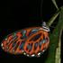 Butterflies of Ecuador - Mariposas Diurnas del Ecuador icon